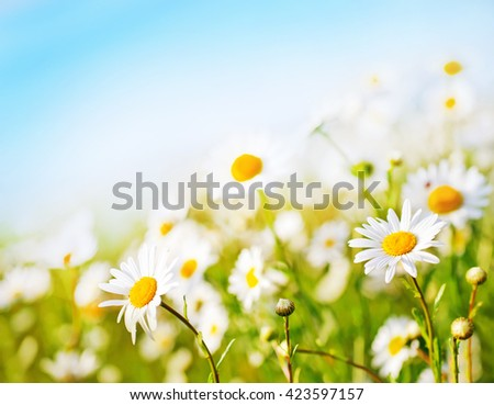 camomille field and blue sky in Crimea - stock photo