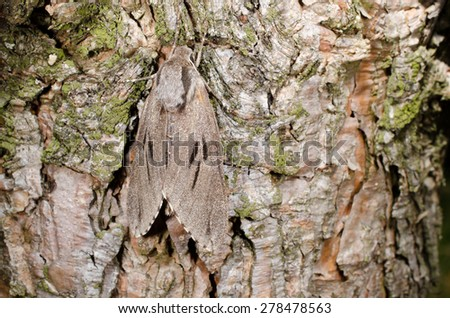 camouflage: pine hawkmoth - stock photo