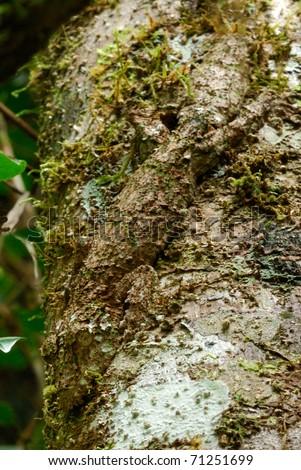 Camouflaged Giant Leaf-tailed Gecko (Uroplatus fimbriatus) in Ranomafana National Park, eastern Madagascar - stock photo