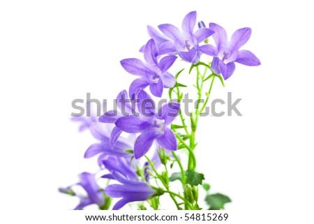 campanula flowers isolated on white background. horizontal shot - stock photo