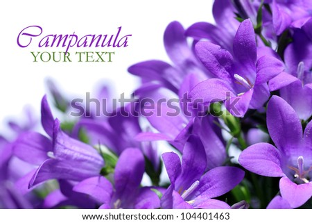 Campanula spring flowers with copy space - stock photo