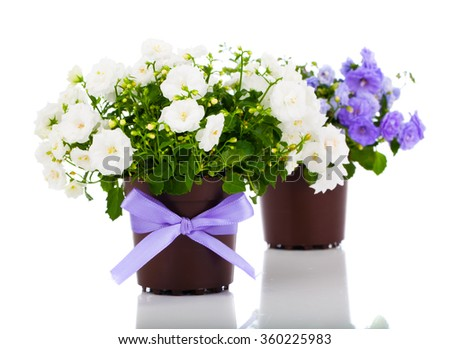 Campanula terry flowers, on a white background. - stock photo