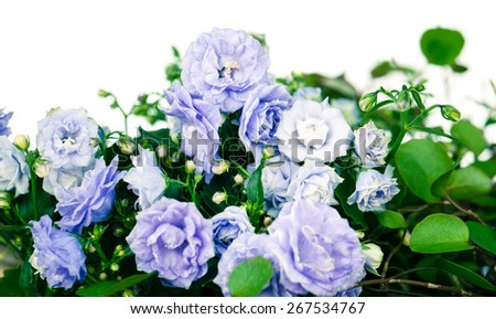 Campanula terry with blue flowers isolated on white background - stock photo