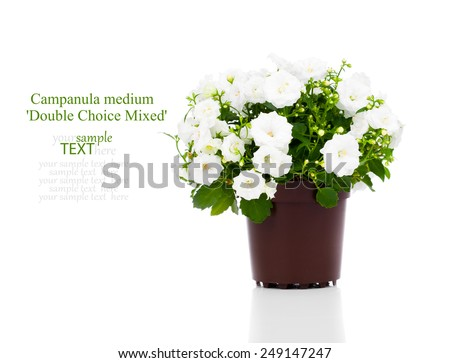 Campanula terry with white flowers isolated on white background - stock photo