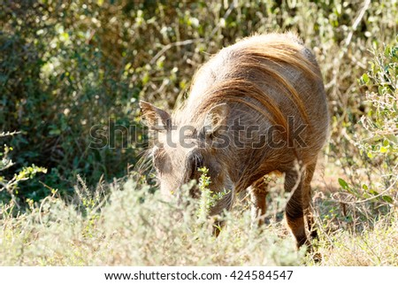 Can you see mee - Phacochoerus africanus - The common warthog is a wild member of the pig family found in grassland, savanna, and woodland in sub-Saharan Africa. - stock photo