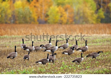 Canada geese, Branta canadensis, in an agricultural field during fall south migration - stock photo