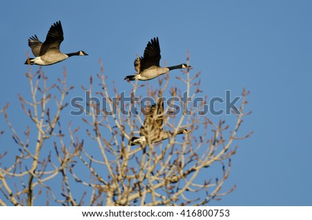 Canada Geese Flying Low Over the Winter Trees - stock photo