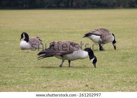 Canada Geese on Grass Field - stock photo