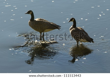 Canada geese, Smith Rock State Park, central Oregon - stock photo