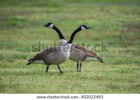 Canada Geese / Which way?  - stock photo