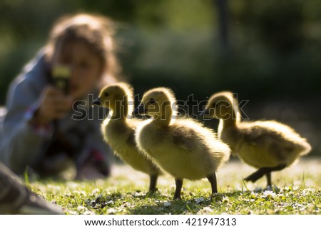 Canada goose (Branta canadensis) goslings being photographed. Three young chicks in foreground with child using phone to take photo, highlighted by evening sun - stock photo