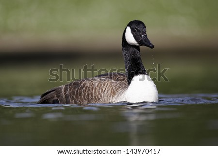 Canada goose, Branta canadensis, single bird on water bathing, Midlands, April 2011 - stock photo