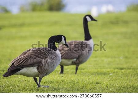 Canada Goose (branta canadensis) strolling in the park - stock photo