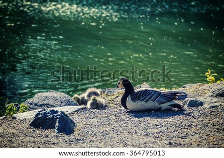 Canada goose, Branta canadensis. Wildlife animal. Family from mother-bird and fluffy baby goslings on the lake coast - stock photo