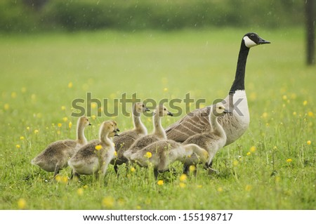 Canada goose (Branta canadensis) with goslings - stock photo
