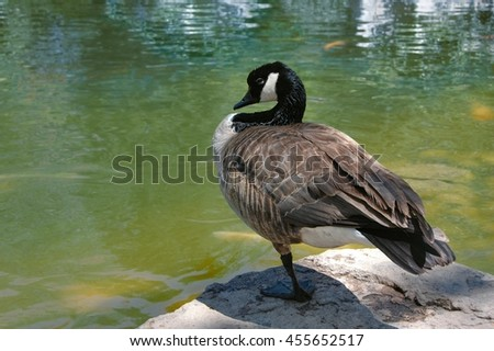 canada goose disturbed in the middle of grooming by a nosy photographer - stock photo