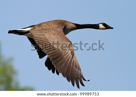 Canada Goose flying over a lake in Missouri. - stock photo