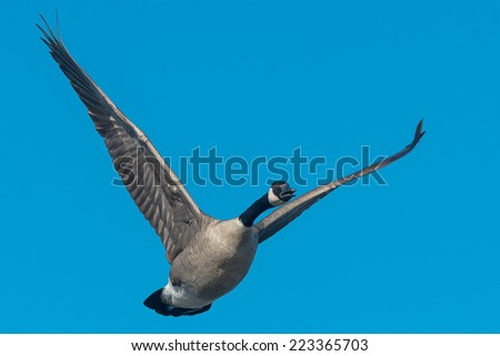 Canada Goose flying through the clear blue sky. - stock photo