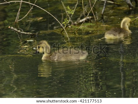 Canada Goose Gosling/ A gosling, or chick, of the Canada Goose (Branta canadensis) swimming on a lake in York County Pennsylvania USA. - stock photo