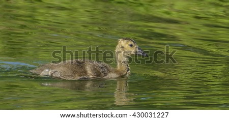 Canada Goose Gosling/A lone Canada Goose gosling (Branta Canadensis), swimming on a lake in York County Pennsylvania, USA. - stock photo