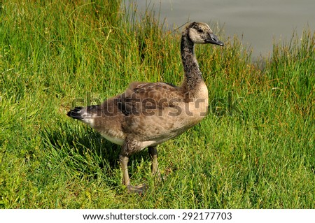 Canada Goose gosling (about a month old) standing in grass on the lake shore - stock photo
