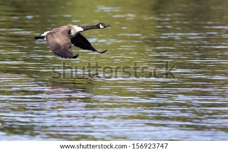 Canada Goose in flight - stock photo