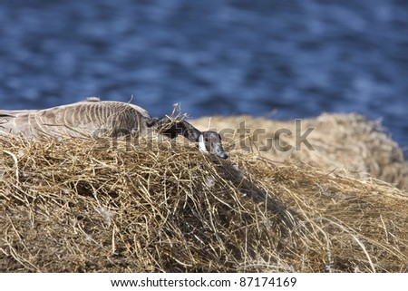 Canada Goose in Nest in Saskatchewan Canada - stock photo