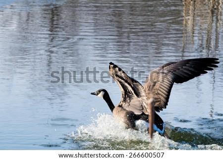 Canada Goose landing - stock photo