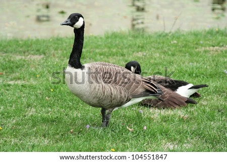 Canada Goose. Pair of geese on the green grass near the pond. - stock photo