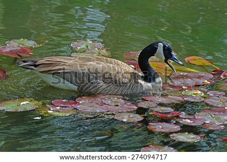 Canada Goose swims with water lilies. - stock photo