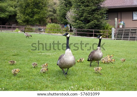 Canada goose with chicks - stock photo