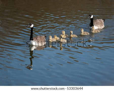 Canada goose with several young goslings - stock photo