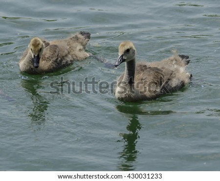 Canada Goslings/ A pair of Canada Goose goslings (Branta Canadensis) swimming on a lake in York County Pennsylvania, USA. - stock photo