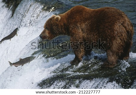 Canada, grizzly bear standing in river looking at salmon - stock photo