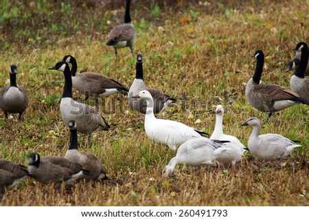 Canadian and Snow geese with goslings in agricultural field during fall migration. - stock photo