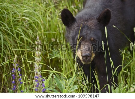 Canadian Black Bear - Young Black Bear Spotted Near Squamish, BC, Canada. Black Bear Closeup. Wildlife Photography Collection - stock photo