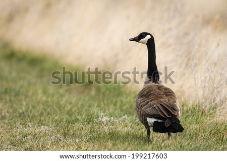 Canadian Geese in the prairies in springtime - stock photo