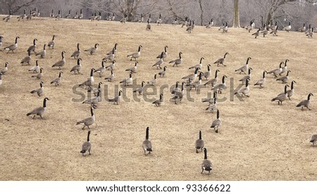 Canadian Geese Stampede - stock photo