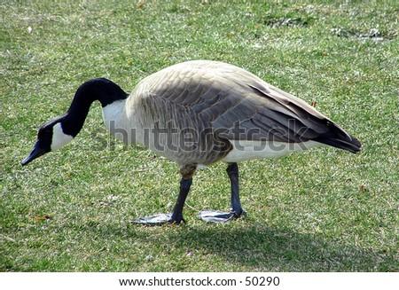 canadian goose - stock photo