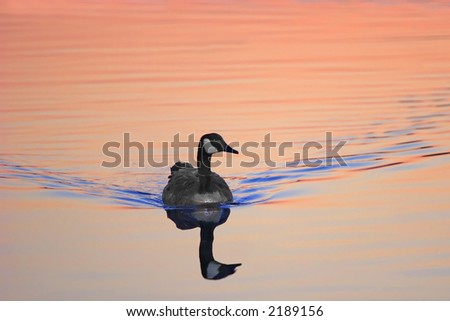 Canadian Goose - Fenwick Island, Delaware - stock photo