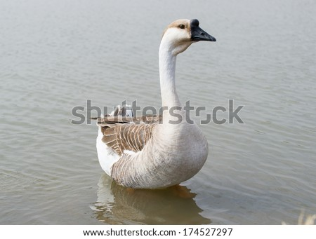 Canadian goose rising out of a pond - stock photo