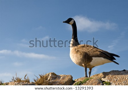 Canadian Goose Roosting during Migration - stock photo