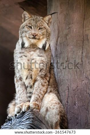 canadian lynx - stock photo