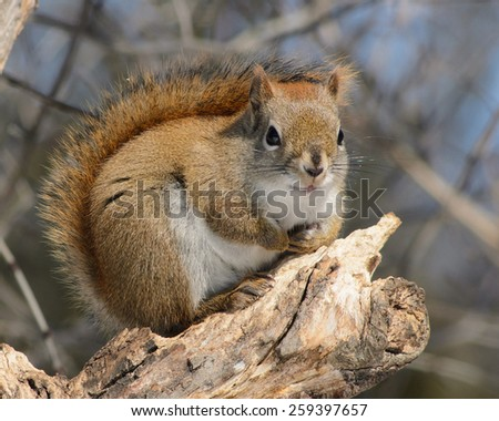 Canadian red squirrel with tail up against back in winter - stock photo