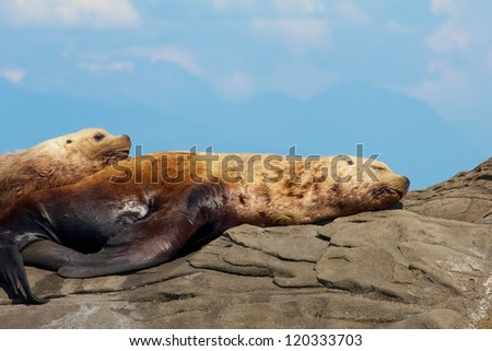 Canadian Sea Lion sitting on a rock close to Vancouver - stock photo