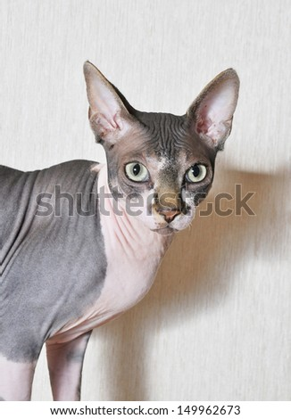 Canadian Sphynx cat  - stock photo