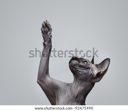 Canadian sphynx cat  lifting its paw - stock photo
