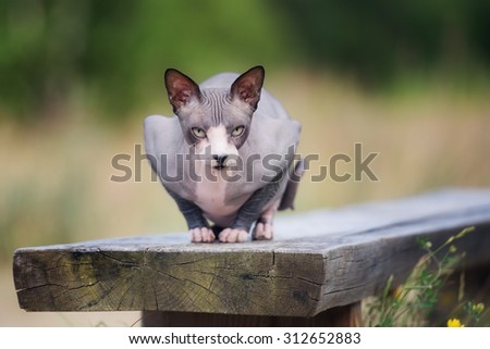 canadian sphynx cat on a bench - stock photo