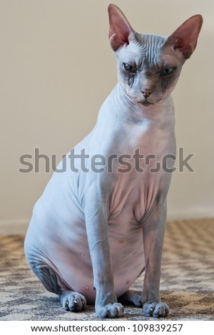 Canadian sphynx cat  portrait with one visible ear and eye - stock photo