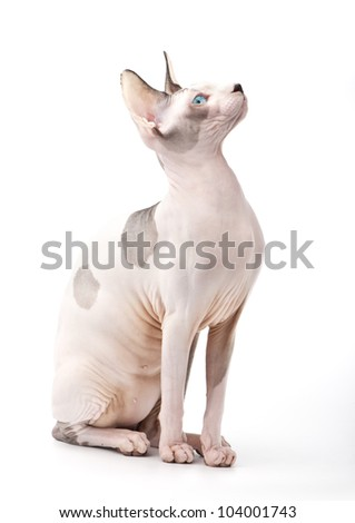 Canadian Sphynx cat sitting on white background and looking up side view - stock photo
